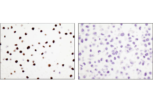 Immunohistochemical analysis of paraffin-embedded cell pellets, Ramos (positive, left) or HeLa (negative, right), using PAX5 (D7H5X) XP<sup>®</sup> Rabbit mAb.