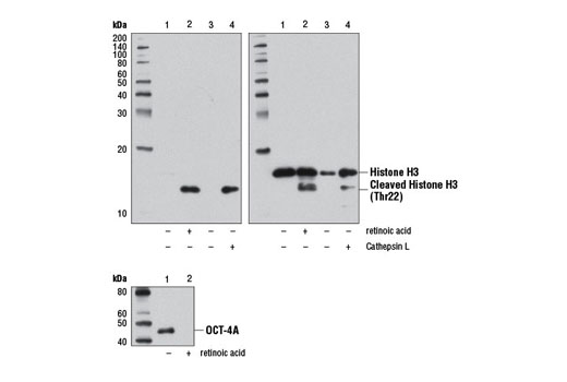 Monoclonal Antibody - Cleaved Histone H3 (Thr22) (D7J2K) Rabbit mAb, UniProt ID P68431, Entrez ID 8350 #12576, Histone H3