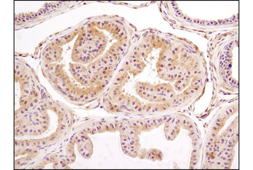 Immunohistochemical analysis of paraffin-embedded mouse prostate using LC3A/B (D3U4C) XP® Rabbit mAb.