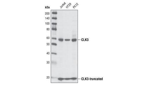 Polyclonal Antibody - CLK3 Antibody, UniProt ID P49761, Entrez ID 1198 #3256