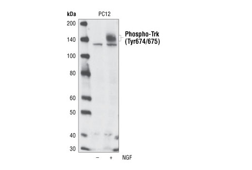 Western blot analysis of extracts from untreated or NGF-treated PC12 cells using Phospho-TrkA (Tyr674/675)/TrkB (Tyr706/707) (C50F3) Rabbit mAb.