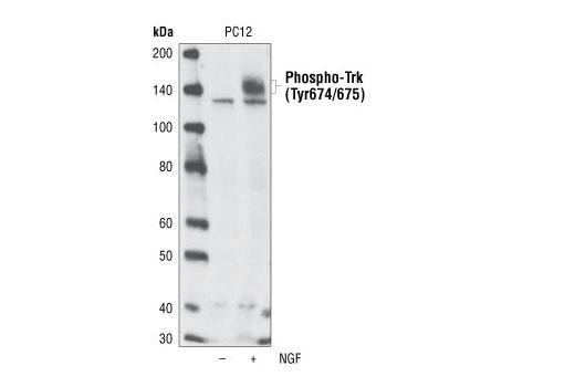 Monoclonal Antibody - Phospho-TrkA (Tyr674/675)/TrkB (Tyr706/707) (C50F3) Rabbit mAb, UniProt ID P04629, Entrez ID 4914 #4621 - Primary Antibodies