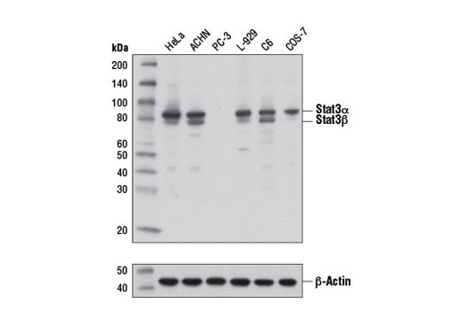 Western blot analysis of extracts from various cell lines using Stat3 (D3Z2G) Rabbit mAb (upper), or β-Actin (D6A8) Rabbit mAb #8457 (lower). PC-3 cells are negative for Stat3.