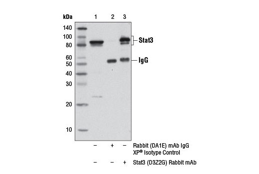 Immunoprecipitation of Stat3 from HeLa cell extracts using Rabbit (DA1E) mAb IgG XP<sup>®</sup> Isotype Control #3900 (lane 2) or Stat3 (D3Z2G) Rabbit mAb (lane 3). Lane 1 is 10% input.
