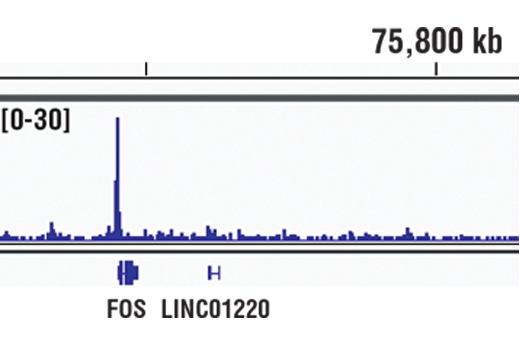 Chromatin immunoprecipitations were performed with cross-linked chromatin from Hep G2 cells starved overnight and treated with Human Interleukin-6 (hIL-6) #8904 (100 ng/ml) for 30 minutes and Stat3 (D3Z2G) Rabbit mAb, using SimpleChIP<sup>®</sup> Plus Enzymatic Chromatin IP Kit (Magnetic Beads) #9005. DNA Libraries were prepared using SimpleChIP<sup>®</sup> ChIP-seq DNA Library Prep Kit for Illumina<sup>®</sup> #56795. The figure shows binding across Fos, a known target gene of Stat3 (see additional figure containing ChIP-qPCR data). For additional ChIP-seq tracks, please download the product data sheet.