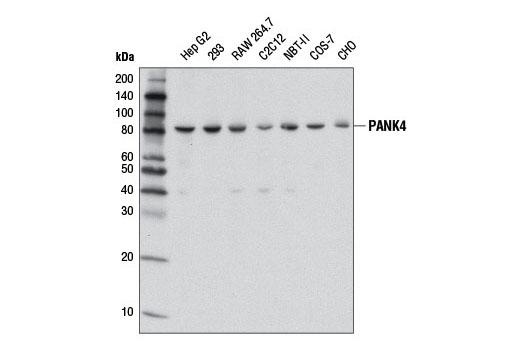 Monoclonal Antibody - PANK4 (D6J4R) Rabbit mAb - Western Blotting, UniProt ID Q9NVE7, Entrez ID 55229 #12665, Pank4