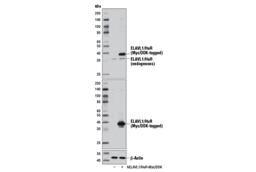 Western blot analysis of extracts from 293 cells, mock transfected (-) or transfected with a construct expressing Myc/DDK-tagged full-length human ELAVL1/HuR (hELAVL1/HuR-Myc/DDK; +), using ELAVL1/HuR (D9W7E) Rabbit mAb (upper), DYKDDDDK Tag (9A3) Mouse mAb #8146 (middle), or β-Actin (D6A8) Rabbit mAb #8457 (lower).