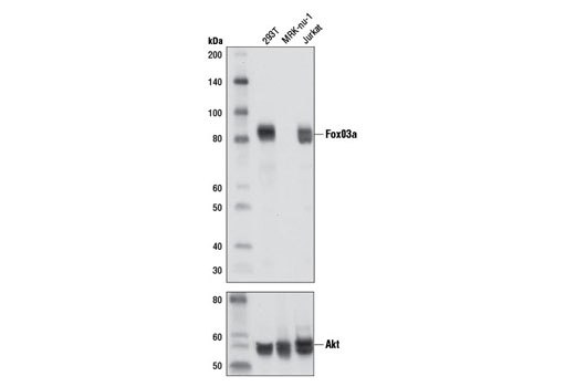 Western blot analysis of extracts from 293T, MRK-nu-1 and Jurkat cells using FoxO3a (D19A7) Rabbit mAb (upper) and Akt (pan) (C67E7) Rabbit mAb #4691 (lower).