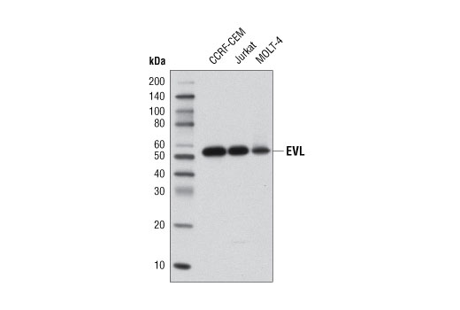 Western blot analysis of extracts from CCRF-CEM, Jurkat, and MOLT-4 cell lines using EVL Antibody.