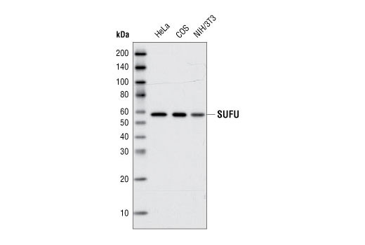 Western blot analysis of total cell lysates from HeLa, COS and NIH/3T3 cells using SUFU (C81H7) Rabbit mAb.