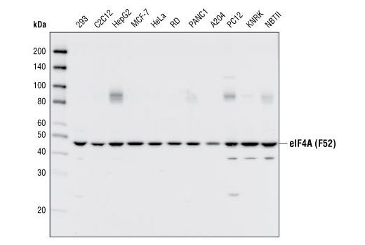 Western blot analysis of extracts from various cell types using eIF4A (F52) Antibody.