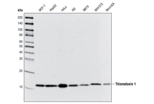 Western blot analysis of extracts from various cell types using Thioredoxin 1 (C63C6) Rabbit mAb.