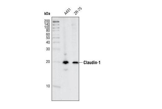 Polyclonal Antibody - Claudin-1 Antibody - Immunoprecipitation, Western Blotting, UniProt ID O95832, Entrez ID 9076 #4933 - Adhesion/Ecm