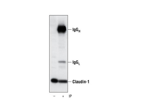 Immunoprecipitation Image 1: Claudin-1 Antibody