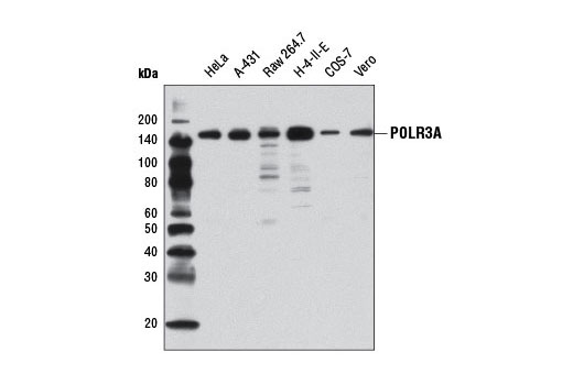 Monoclonal Antibody Termination of Rna Polymerase Iii Transcription