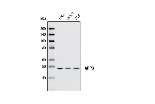 Western blot analysis of extracts from HeLa, Jurkat and COS cells using ARP3 Antibody.