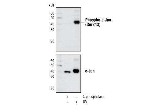 Polyclonal Antibody - Phospho-c-Jun (Ser243) Antibody - Western Blotting, UniProt ID P05412, Entrez ID 3725 #2994 - #2994