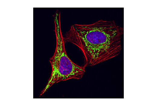 Confocal immunofluorescent analysis of HeLa cells using HSP60 (D307) Antibody (green). Actin filaments have been labeled with Alexa Fluor<sup>®</sup> 555 phalloidin (red). Blue pseudocolor = DRAQ5<sup>®</sup> #4084 (fluorescent DNA dye).