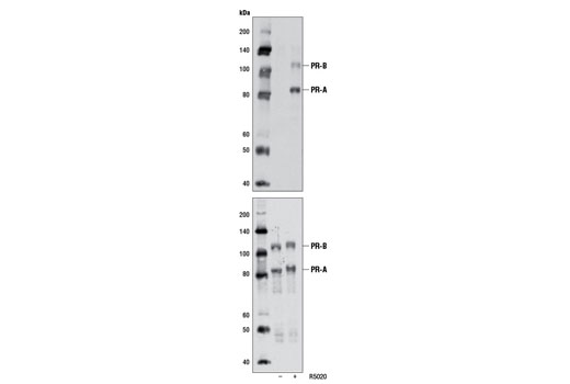 Polyclonal Antibody Western Blotting Epithelial Cell Maturation