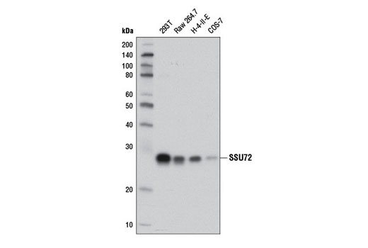 Monoclonal Antibody - SSU72 (D3I2D) Rabbit mAb - Immunoprecipitation, Western Blotting, UniProt ID Q9NP77, Entrez ID 29101 #12816 - #12816