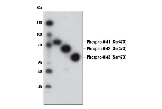 Western blot analysis of purified recombinant phospho-Akt1 (lane 1), phospho-Akt2 (lane 2), and phospho-Akt3 (lane 3) proteins using Phospho-Akt (Ser473) (D9W9U) Mouse mAb.