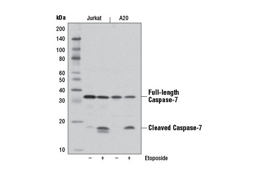 Western blot analysis of extracts from Jurkat and A20 cells, untreated (-) or treated with Etoposide #2200 (25 μM, overnight; +), using Caspase-7 (D2Q3L) Rabbit mAb.