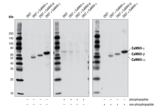 Western blot analysis of extracts from 293T cells, untransfected or transfected with specific CamKII proteins as indicated, using Phospho-CamKII (Thr286) (D21E4) Rabbit mAb. Antibody phosphospecificity was verified by preincubating the antibody in the absence of a peptide (-) or with either CamKII-β (Thr287) phosphopeptide (+) or CamKII-β (Thr287) non-phosphopeptide (+) prior to incubating the membrane.