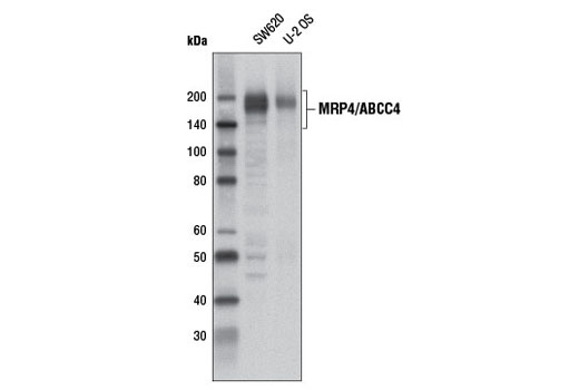 Western blot analysis of extracts from SW620 and U-2 OS cells using ABCC4 (D2Q2O) Rabbit mAb</p><p>.