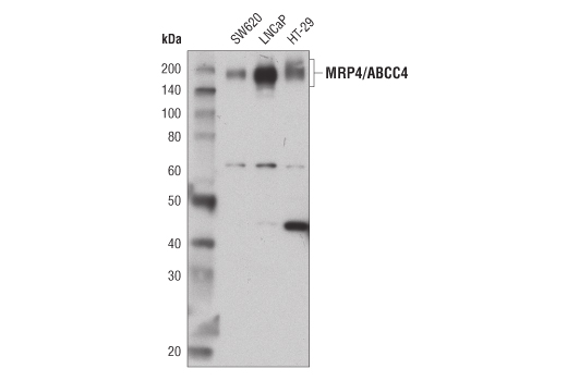 Western blot analysis of extracts from membrane fractions of SW620, LNCaP, and HT-29 cells using MRP4/ABCC4 (D1Z3W) Rabbit mAb.