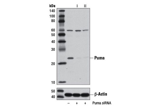 siRNA Transfection Negative Regulation of Growth