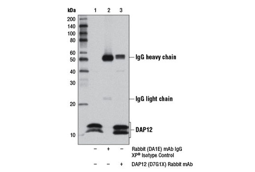 Immunoprecipitation of DAP12 from THP-1 cell extracts using Rabbit (DA1E) mAb IgG XP<sup>®</sup> Isotype Control #3900 (lane 2) or DAP12 (D7G1X) Rabbit mAb (lane 3). Lane 1 is 10% input. Western blot analysis was performed using DAP12 (D7G1X) Rabbit mAb.