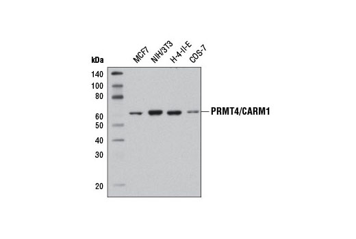 Western blot analysis of extracts from various cell lines using PRMT4/CARM1 (3H2) Mouse mAb.