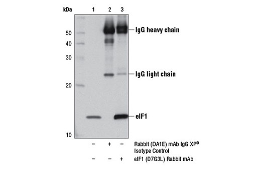 Immunoprecipitation Image 1: eIF1 (D7G3L) Rabbit mAb