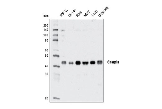 Western blot analysis of extracts from various cell lines using Sharpin (D4P5B) Rabbit mAb.