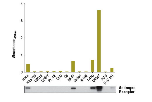 Figure 1. Androgen receptor protein from human (HeLa, MCF7, T-47D, LNCaP, or U-87 MG) cells was detected using PathScan<sup>®</sup> Total Androgen Receptor Sandwich ELISA Kit. However, this kit has no detection in human (Jurkat, K-562, or PC-3), monkey (COS-7), hamster (CHO), mouse (NIH/3T3, C2C12), or rat (C6, PC-12) cells. The absorbance readings at 450 nm are shown in the top figure, while corresponding western blots using Androgen Receptor (D6F11) XP<sup>®</sup> Rabbit mAb #5153 are shown in the bottom figure.