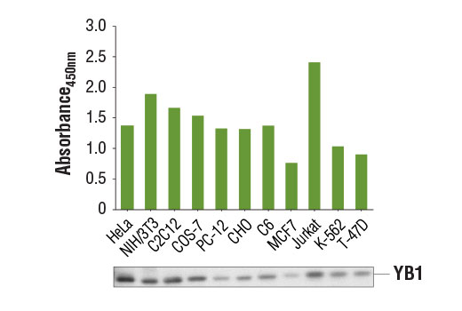 Figure 1. Variable levels of YB1 protein are detected from multiple cell lines using the PathScan<sup>®</sup> Total YB1 Sandwich ELISA Kit #12543. The absorbance readings at 450 nm are shown in the top figure, while corresponding western blots using YB1 (D2A11) Rabbit mAb #9744 are shown in the bottom figure.