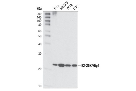 Western blot analysis of extracts from various cell types using E2-25K/Hip2 Antibody.