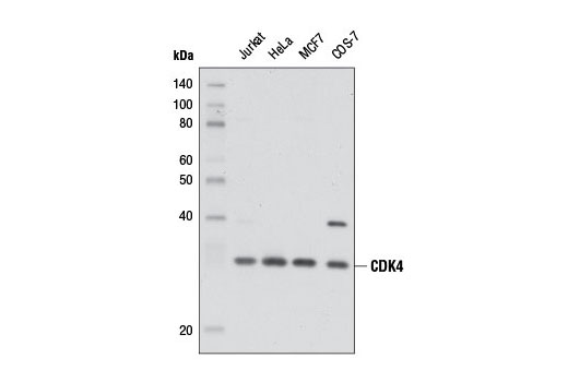 Western blot analysis of extracts from various cell lines using CDK4 (D9G3E) Rabbit mAb.