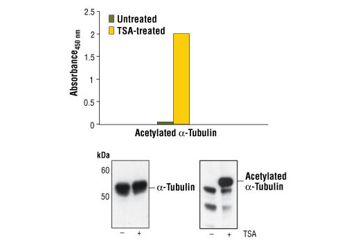 Figure 1. Treatment of COS cells with Trichostatin A (TSA) increases the acetylation of α-tubulin detected by PathScan<sup>®</sup> Acetyl-alpha-Tubulin Sandwich ELISA Kit #7204. TSA treatment does not affect the level of α-tubulin that is detected by Western analysis. COS cells (70-80% confluent) were treated for 16-18 hours with 0.4 micromolar TSA at 37oC. Absorbance readings at 450 nm are shown in the top figure while the corresponding Western blots using α-Tubulin Antibody #2125 (left panel) or Acetylated-Lysine Antibody #9441 (right panel) are shown in the bottom figure.