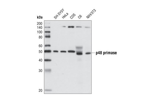Mouse Synthesis of Rna Primer