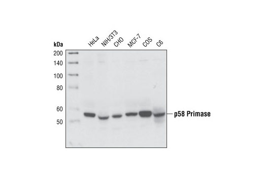 Western blot analysis of extracts from various cell types using p58 Primase (8D3) Rat mAb.