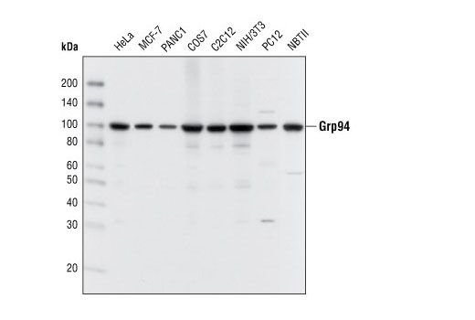 Western blot analysis of extracts from various cell types using Grp94 Antibody.
