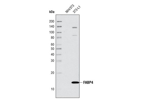 Western blot analysis of extracts from NIH/3T3 and 3T3-L1 cells using FABP4 Antibody.