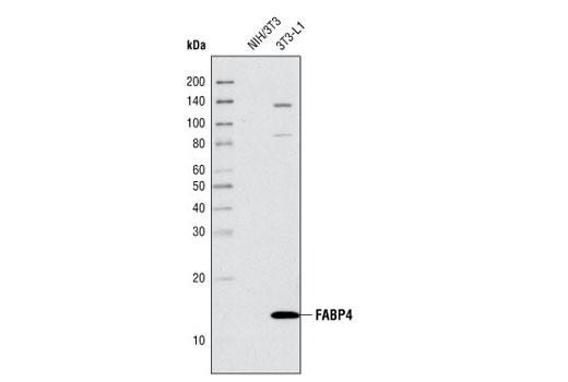 Polyclonal Antibody - FABP4 Antibody - Western Blotting, UniProt ID P15090, Entrez ID 2167 #2120