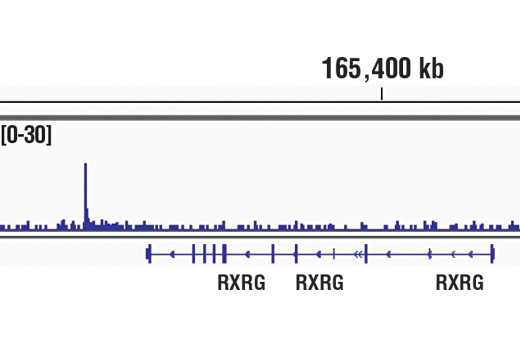 Chromatin immunoprecipitations were performed with cross-linked chromatin from Saos-2 cells and RUNX2 (D1L7F) Rabbit mAb, using SimpleChIP<sup>®</sup> Plus Enzymatic Chromatin IP Kit (Magnetic Beads) #9005. DNA Libraries were prepared using SimpleChIP<sup>®</sup> ChIP-seq DNA Library Prep Kit for Illumina<sup>®</sup> #56795. The figure shows binding across RXRG gene. For additional ChIP-seq tracks, please download the product data sheet.