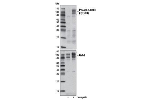 Polyclonal Antibody - Phospho-Gab1 (Tyr659) Antibody - Immunoprecipitation, Western Blotting, UniProt ID Q13480, Entrez ID 2549 #12745