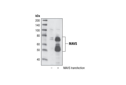 Western blot analysis of extracts from HeLa cells, mock-transfected or transfected with human MAVS, using MAVS Antibody.