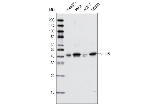 Western blot analysis of total cell lysates from various cell lines using JunB (P169) Antibody.