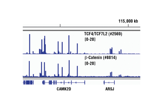 Chromatin immunoprecipitations were performed with cross-linked chromatin from HCT116 cells and either TCF4/TCF7L2 (C48H11) Rabbit mAb or Non-phospho (Active) β-Catenin (Ser33/37/Thr41) (D13A1) Rabbit mAb #8814, using SimpleChIP<sup>®</sup> Enzymatic Chromatin IP Kit (Magnetic Beads) #9003. DNA Libraries were prepared using SimpleChIP<sup>®</sup> ChIP-seq DNA Library Prep Kit for Illumina<sup>®</sup> #56795. TCF4/TCF7L2 and β-Catenin are known to associate with each other on chromatin. The figure shows binding of both TCF4/TCF7L2 and β-Catenin across CAMK2D, a known target gene of both TCF4/TCF7L2 and β-Catenin (see additional figure containing ChIP-qPCR data). For additional ChIP-seq tracks, please download the product data sheet.