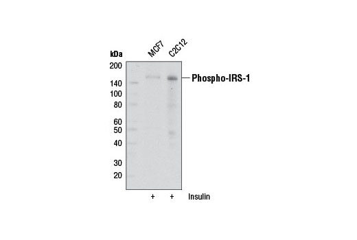 Monoclonal Antibody Western Blotting Phosphoinositide 3-kinase Cascade